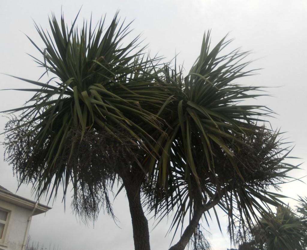Cordyline Trees